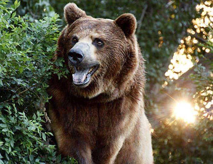 Медведь забрался вдом исыграл нафортепиано
